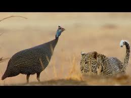 Young <b>Leopard's</b> First Big Kill! | BBC Earth - YouTube