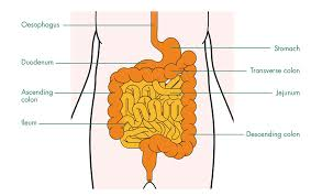best images of small bowel diagram   colon cancer stages  white    small large intestine diagram