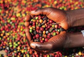 Картинки по запросу кофейные зёрна либерика