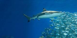 how sharks hunt sharkopedia