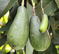 """Avocado"""" Derives from a Word Meaning """"Testicle"""" via Relatably.com"""