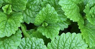 <b>Mint</b> condition: <b>мята</b> в парфюмерии и не только ~ Аромахимия
