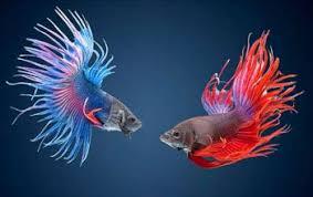 <b>Бойцовые рыбки</b>
