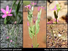 Centaurium spicatum (L.) Janch.: FloraBase: Flora of Western ...