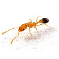Résultats de recherche d'images pour «fourmis pharaon photo»