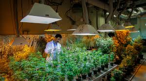 medical marijuana research hits wall of u s law the new york times medical marijuana research hits wall of u s law