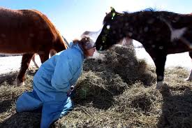hay shortage hits horse owners livestock farmers hard dee dee golberg gets a sniff from diva a paint pony during feeding time