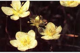 Plants Profile for Parnassia palustris (marsh grass of Parnassus)