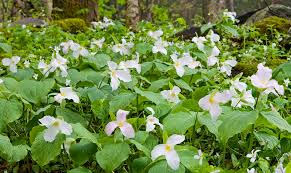 Image result for great white trillium
