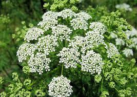 Αποτέλεσμα εικόνας για κύμινο φυτό