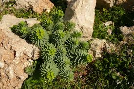 Euphorbia pinea - Wikispecies