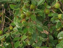 Image result for Strychnine tree