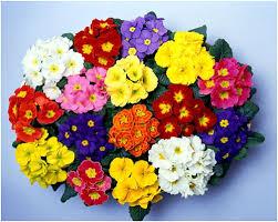 Kết quả hình ảnh cho hạt giống hoa báo xuân