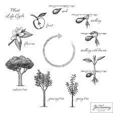basic plant life cycle and the life cycle of a flowering plant plant life cycle