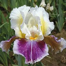 <b>Dawn Eternal</b> Bearded Iris   Breck's
