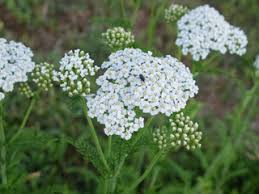 Achillea millefolium (Common yarrow) | Native Plants of North America
