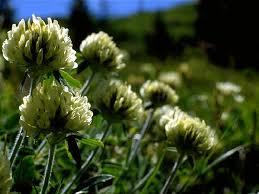 Trifoglio norico | Parco Nazionale Dolomiti Bellunesi