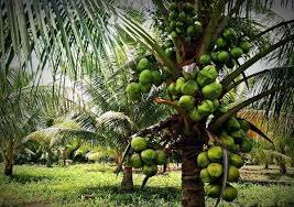 Image result for kelapa