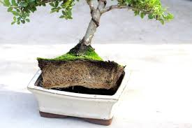 potbound bonsai tree bonsai tree