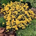 yellow ageratum