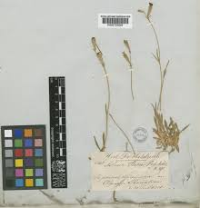 Silene ciliata Pourr. | Plants of the World Online | Kew Science