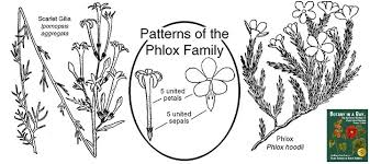 Polemoniaceae: Phlox Family. Identify plants and flowers.