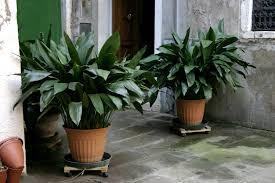 iron plant aspidistra elatior plants for indoors low light plants air best low light office plants