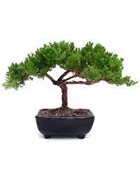small juniper bonsai bonsai tree office table