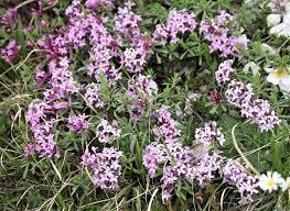 Daphne striata - Alpine Garden Society