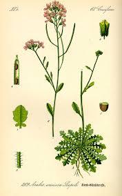 Arabidopsis arenosa - Wikipedia