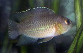 Goldeneye cichlid