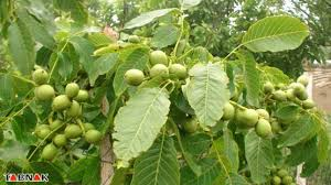 Image result for گردو