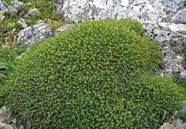 Euphorbia spinosa L. {ID 3095} - Euforbia spinosa - Forum Acta ...