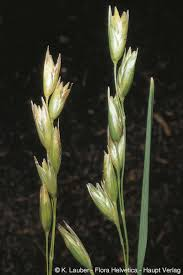 Danthonia decumbens (L.)