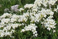 Arabetta del Bohinj [Arabis vochinensis]