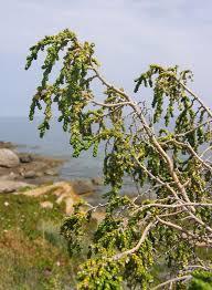 Thymelaea - Wikipedia