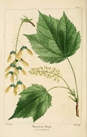 Acer spicatum - Wikipedia