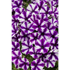 proven winners supertunia violet star charm petunia live plant supertunia violet star charm petunia live plant purple and white striped flowers