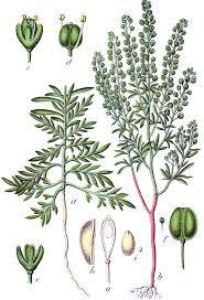 Lepidium ruderale - Wikipedia