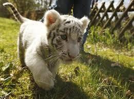 Hasil gambar untuk tiger cubs playing