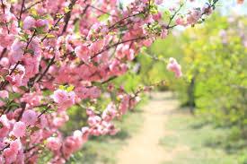 Which Flowering <b>Cherry</b> Tree for my Garden?