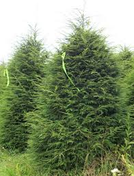 Image result for hemlock trees