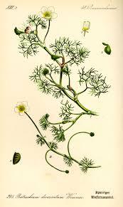 Ranunculus circinatus - Wikispecies