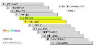 Bromus intermedius [Forasacco intermedio] - Flora Italiana