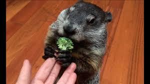 <b>Cute</b> Pet <b>Groundhog</b> - Part 3, Snack Time - YouTube