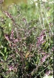 Odontites vernus - Online Virtual Flora of Wisconsin