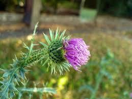 Carduus acanthoides - Wikipedia