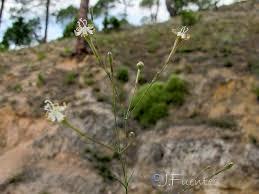 Flora de Andalucía - Silene portensis subsp. portensis