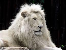 images?qtbnANd9GcTchyZx3JVkxey9E7HV3C1cJyW1 1GT fHpHjgxvyqhFDjFWkjH - White lion