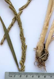 Beckmannia eruciformis (L.) Host | Flora of Israel Online